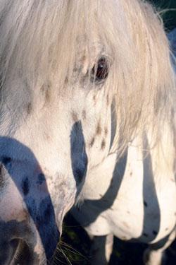 Foto van pony met zebraprint
